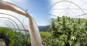 Mandatory Minimum Terms for Cannabis Cultivation: How Crazy are a Harper …